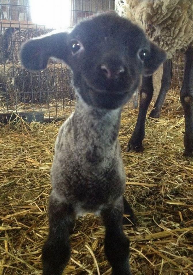 Hej värld, säger den lilla fåren
