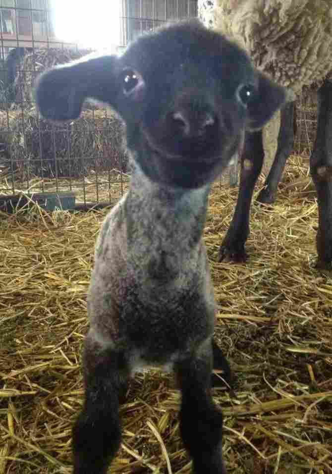 Hello world, says the little sheep