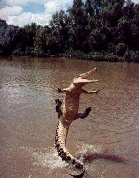 Krokodil faller på skrattets baksida