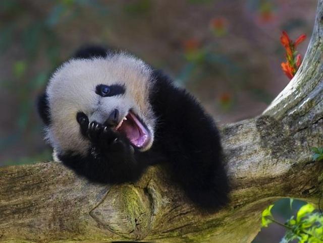 panda desternillándose