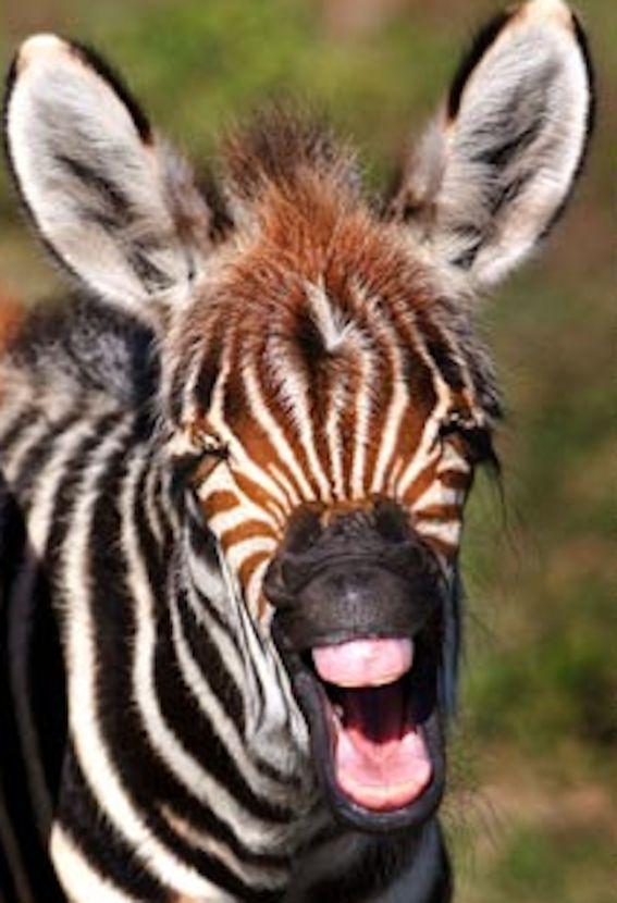 Zebra skrattar