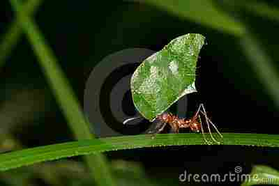Pruner ant