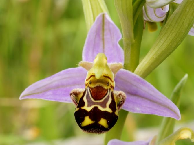 Orquídea sonriente