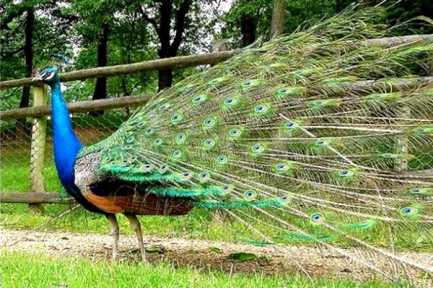 60% do comprimento de um pavão é ocupado por sua cauda