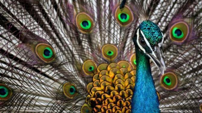 Curiosidades do pavão