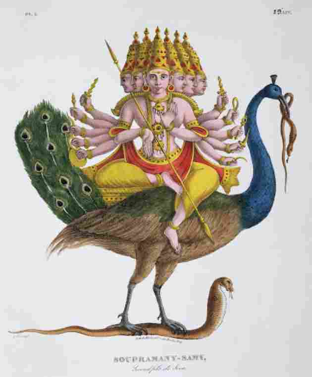 In Hinduism, the peacock serves as a mount for Kārttikeya or Skanda, the god of war