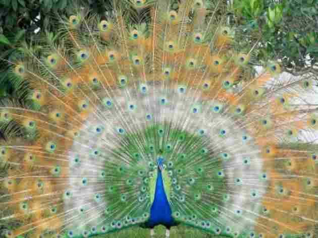 It is the national bird of India