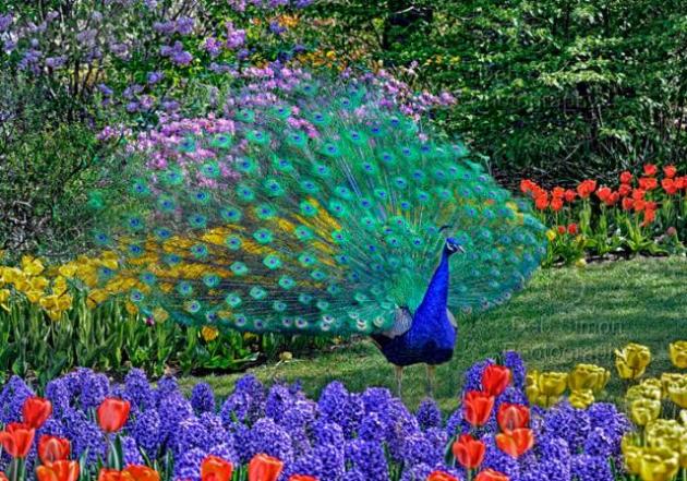 Na República Dominicana, é usado como pássaro decorativo em pátios e jardins