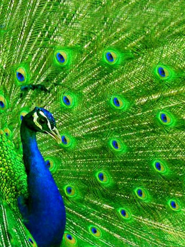 Os sons que o animal produz não são tão atraentes quanto sua imagem