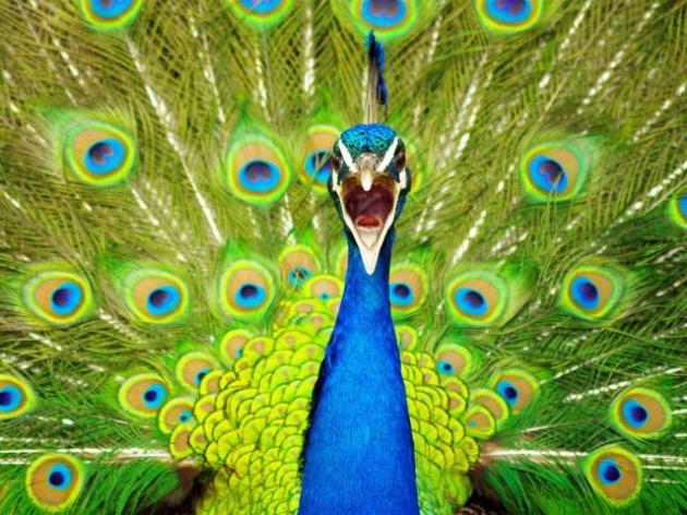 Somente o macho tem o grande ventilador radiante na cauda