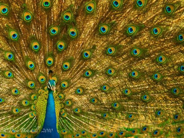 Um peru com a cauda espalhada pode ser considerado o símbolo da vaidade