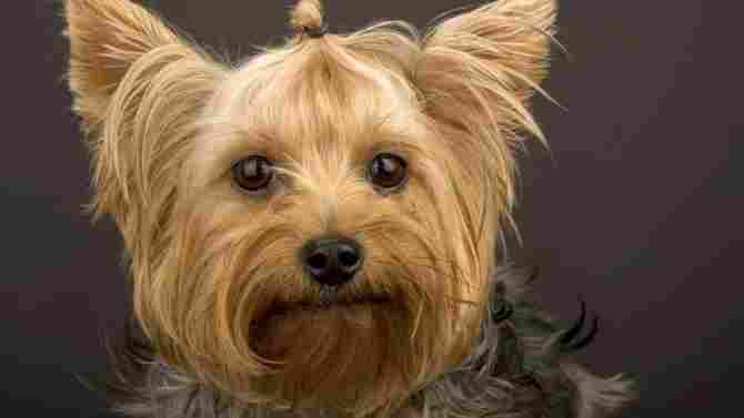 Yorkshire Terriers dog