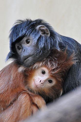 Macacos pequenos