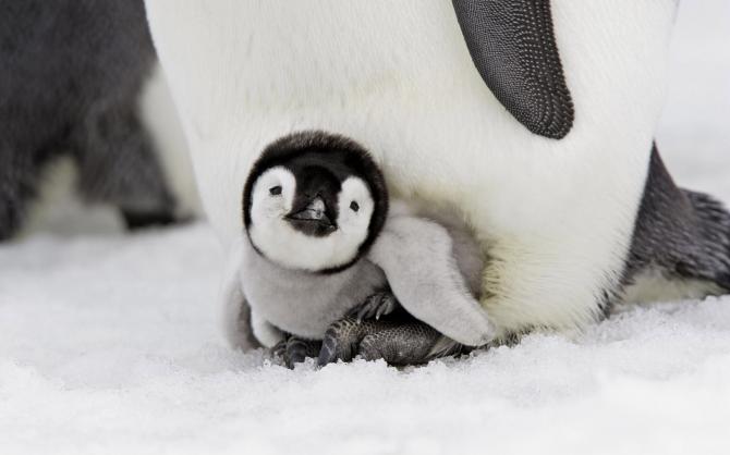 pinguïn