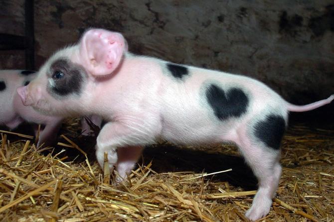 Le cochon aimant