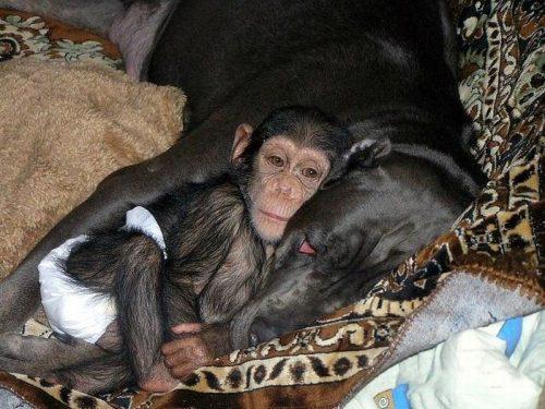 Hund som sover med en apa