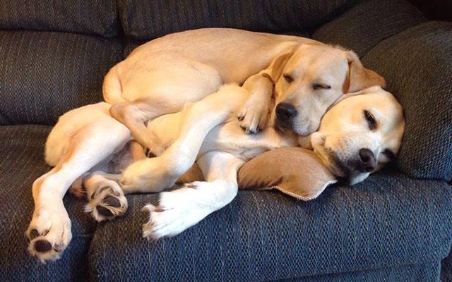 Labrador (er) i drömmar