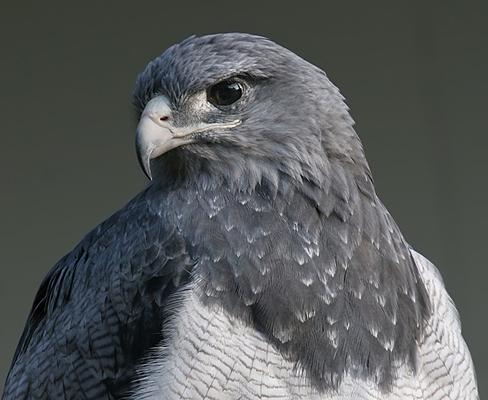 Экранированный орел.