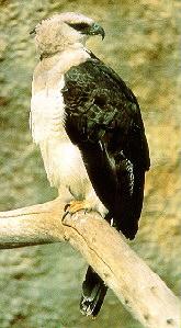 Хохлатый орел.