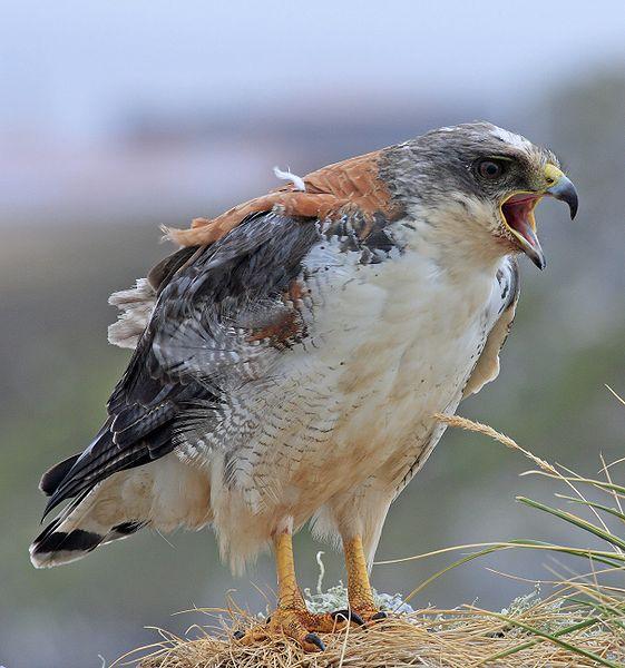 Браун-орел.