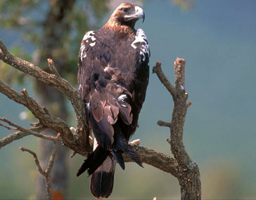 Иберийский императорский орел.