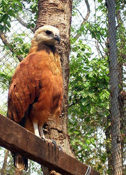 Águila colorada.