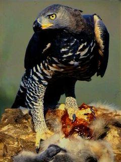 Águila coronada.