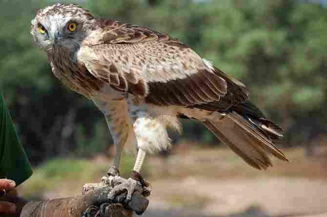 Águila culebrera europea.