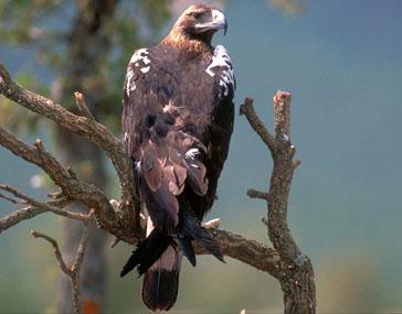 Águila Imperial Ibérica.