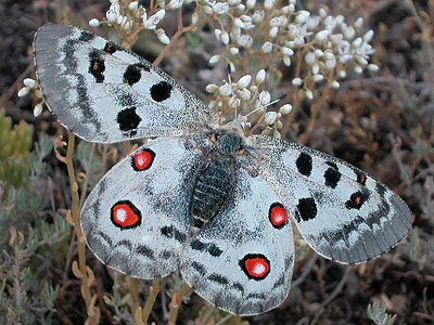Apollo butterfly