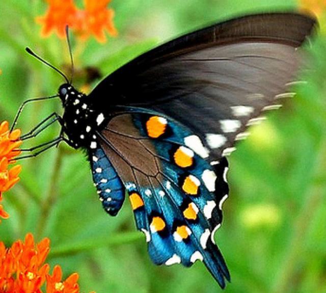 Aristoloquia Swallowtail butterfly