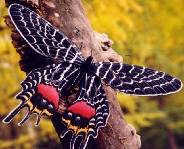 Armandia butterfly