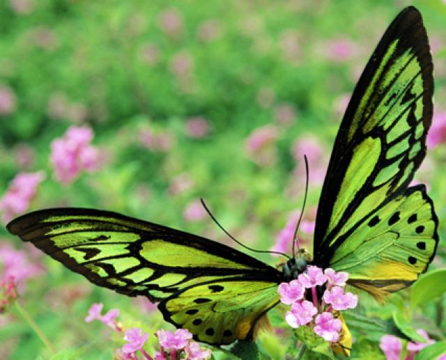 Asas de pássaro borboleta