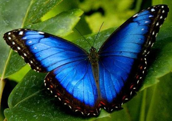 Borboleta azul de Morpho