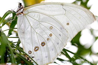 Borboleta branca de Morpho