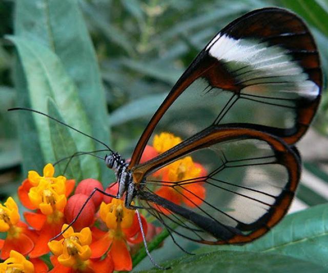 Borboleta de asas de cristal