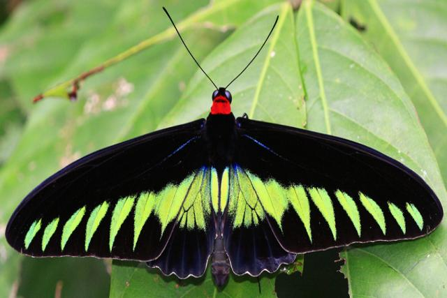 Borboleta de asas de pássaro de Brook