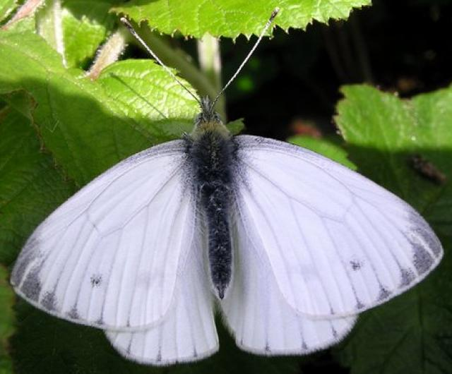 Borboleta Pieridae