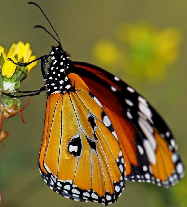 Borboleta tigre