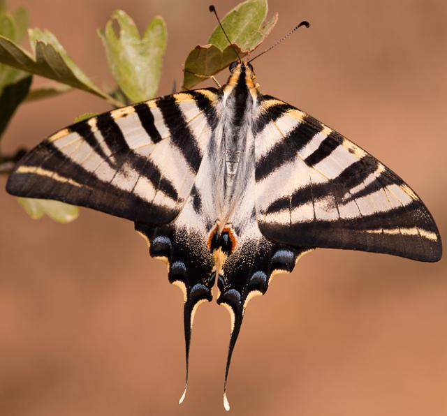 Butterfly Chupaleche