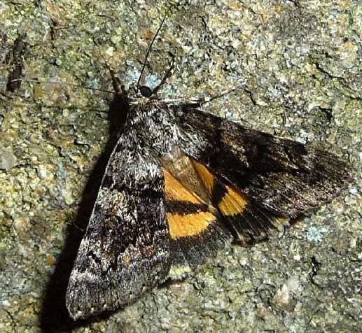 Catocala butterfly
