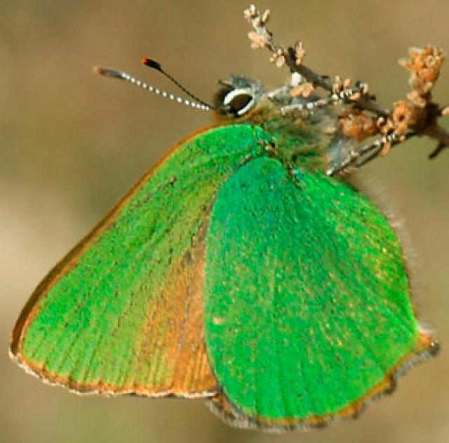 Cejialba butterfly