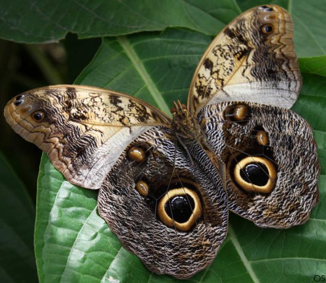 Coruja borboleta
