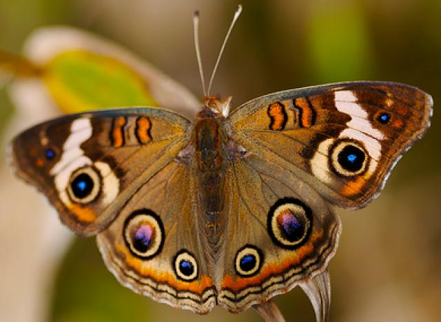 Deer Eye Butterfly