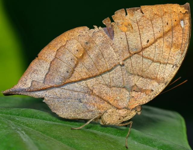 Dried Leaf Butterfly