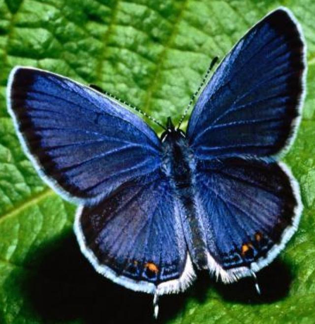 Fabiola butterfly
