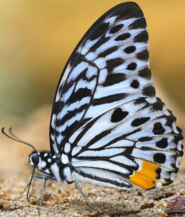 Graphium Delessertii