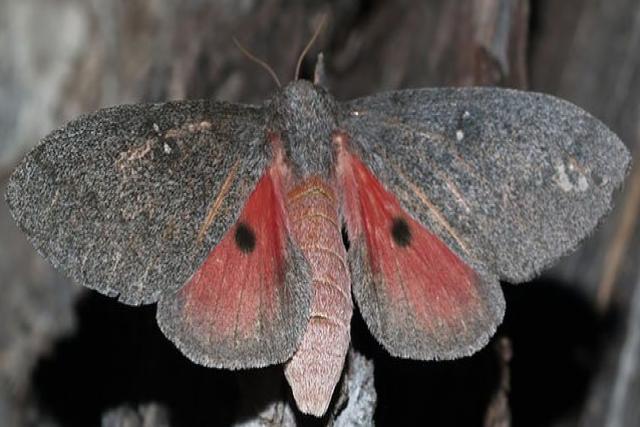 Hubbard Silk Moth