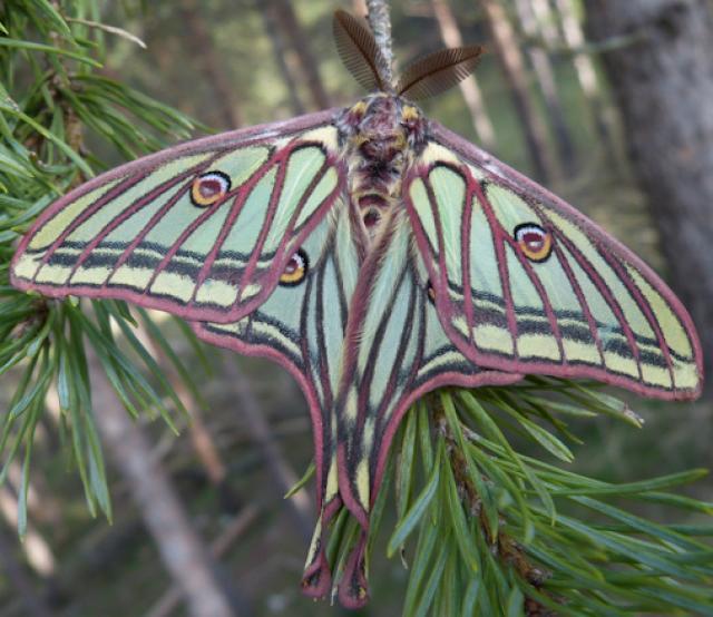 Isabelina butterfly