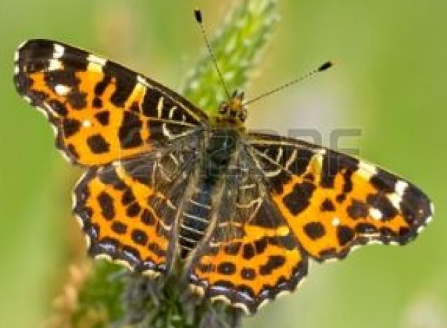 Levana Butterfly